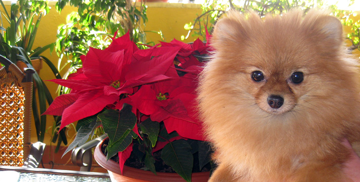 Lovely Dog - Chihuahua, Pomerania y Yorkshire