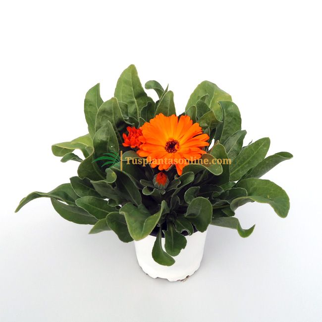 Calendula officinalis M-11