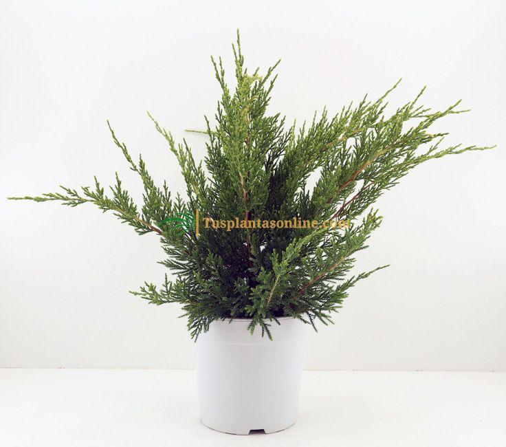 Juniperus media Mint Julep m-19