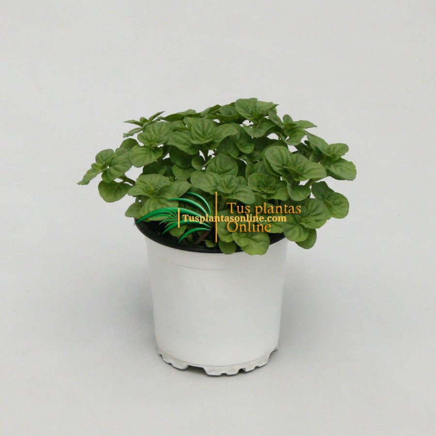 Mentha citrata lemon M-11