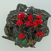 Cyclamen mini rojo