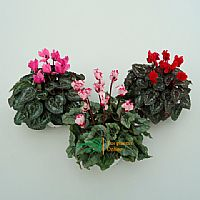 Cyclamen mini variado