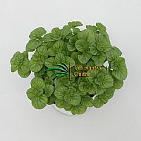 Mentha citrata lemon